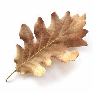 La foglia della quercia